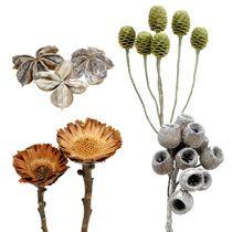 Srebrniki (Protea)