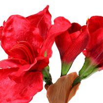 Amaryllis ciemnoczerwony 72,5 cm