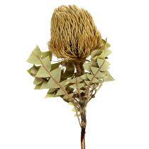 Banksia Baxterii Suszone Kwiaty Natura 10szt.