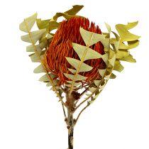 Banksia Baxterii Pomarańczowa 8szt.