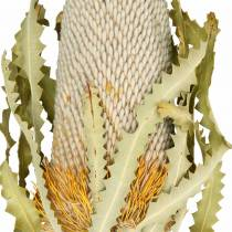 Banksia Hookerana naturalna 7szt.