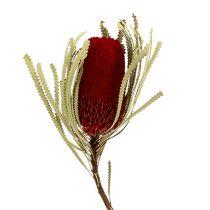 Banksia Hookerana czerwona 7szt.
