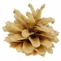 Szyszki sosny górskiej Pinus mugo Kremowe 2-5cm 1kg
