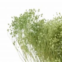 Suszone Kwiaty Żarnowiec Jasnozielony 150g