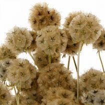 Scabiosa suszona natura Scabiosa suszone kwiaty H50cm 100g