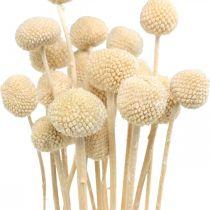 Craspedia suszone podudzie śmietankowe susz kwiatowy 20szt.