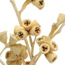 Gałązka eukaliptusa bielona 25szt.