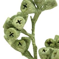 Gałązka eukaliptusa zielona szroniona 25szt.