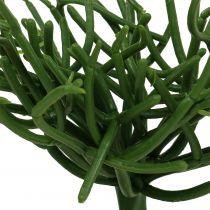 Euphorbia pick zielony 19cm 4szt.