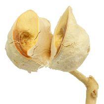 Hakea średnia 5-9 główek na gałązce bielona 25szt.