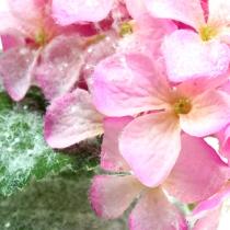 Hortensja różowa z efektem śniegu 25cm