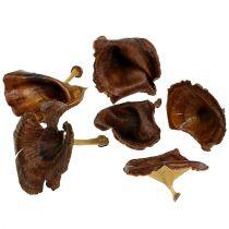 Kalix grzybek natura lakierowany 100szt.
