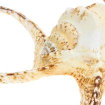 Lambis ślimak morski natura 22cm