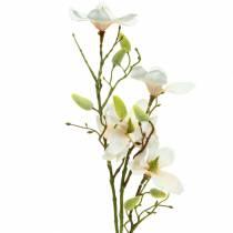 Magnolia Brzoskwiniowa 85cm