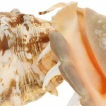 Lambis ślimak morski natura 14cm 10szt.
