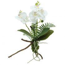 Orchidea biała z kulą z mchu i korzeniami 36cm