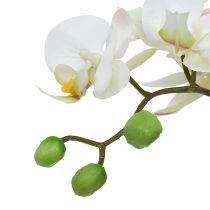 Phalaenopsis kremowy w doniczce ceramicznej 33cm