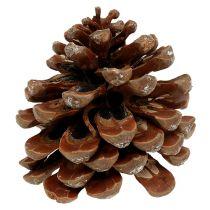 Pinus Pinea średnia 10/14cm natura 50szt.