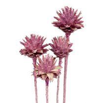 Leucospermum 1 jeżyna szroniona 25szt.