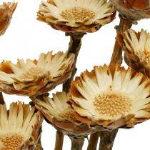 Protea Compacta Rosette Nature Suszony Kwiat Krzew Cukrowy 8szt.