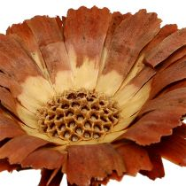 Repens rozeta jasna 8-9cm 25szt.