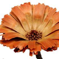 Repens rozeta natura 6-7cm 50szt.