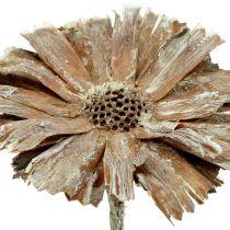 Protea rozeta 8-9cm biała płukana 25szt.