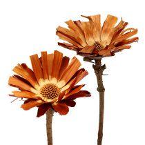 Repens rozeta super 10 - 12cm 20szt.