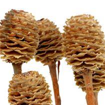 Sabulosum 4-6 główek na gałązce 25szt.