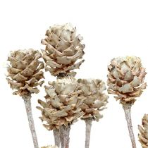 Salignum bielone 25szt.