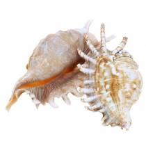 Ślimak morski ślimak stonoga natura 11-15cm 10szt