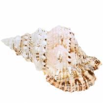 Ślimak morski gigant żaba ślimak natura 18-20cm