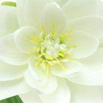 Lilia wodna biała 75cm