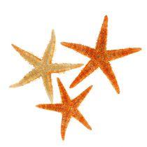 Rozgwiazda suszona 8 cm - 10 cm 10 szt