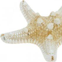 Rozgwiazda Naturalna Morska Dekoracja Stołu 5-8cm Prawdziwa Rozgwiazda 20szt