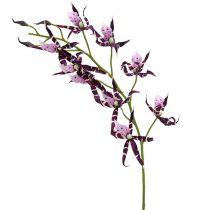 Pająki storczyki Brassia Purple 108cm 3szt.