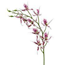 Pająki storczyki Brassia Pink-White 108cm 3szt.