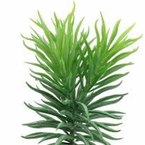 Sukulent Senecio ragwort zielony 20cm