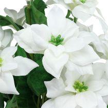 Bukiet Poinsecji Biały L45cm