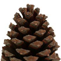 Szyszki Pinus Maritima 10cm - 15cm Naturalne 3szt.
