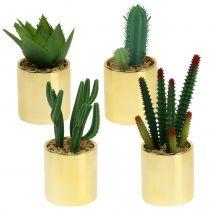 Kaktusy zielone w złotej doniczce 12cm - 17cm 4szt.