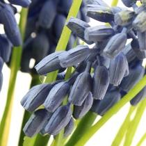 Hiacynty winogronowe 28 cm - 30 cm niebieskie 5 szt