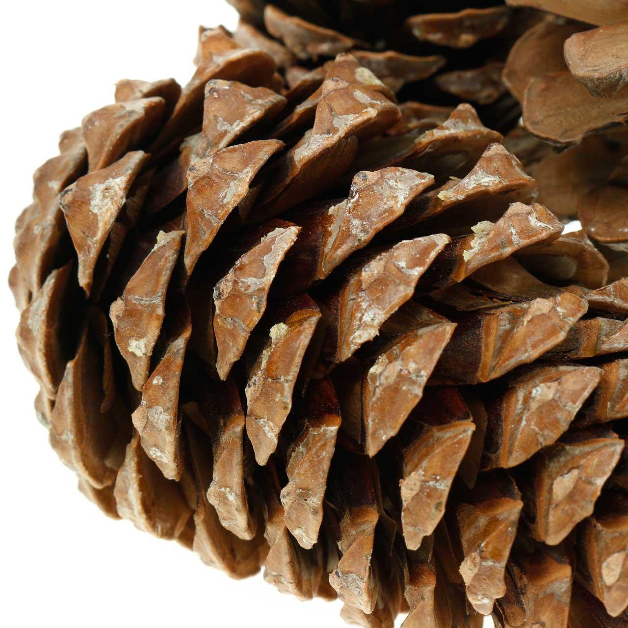 Pinus Pinea duża 14/18cm Nature 50szt.