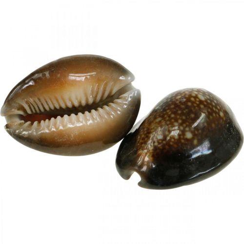 Kauri Muszla Dekoracja Morska Natura Dekoracja Morskie Muszle 500g