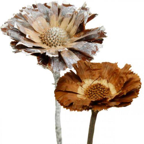 Exotics Mix Protea Rosette Naturalny, Biały Płukany Suszony Kwiat 10szt.